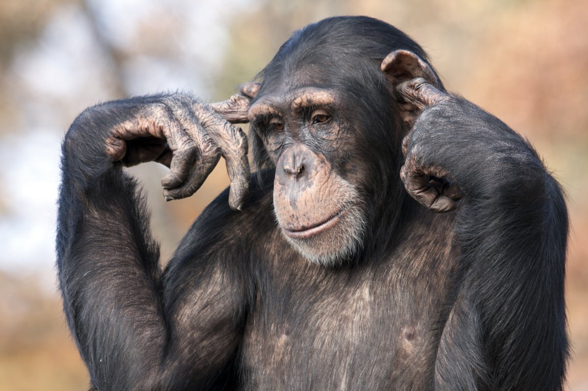 Court says trying to give chimps the same rights as humans is monkey business  https:// world.wng.org/content/scient ists_marvel_over_ear_s_intricate_design &nbsp; …  @forcedexit #Beginnings <br>http://pic.twitter.com/kUdJP327nD