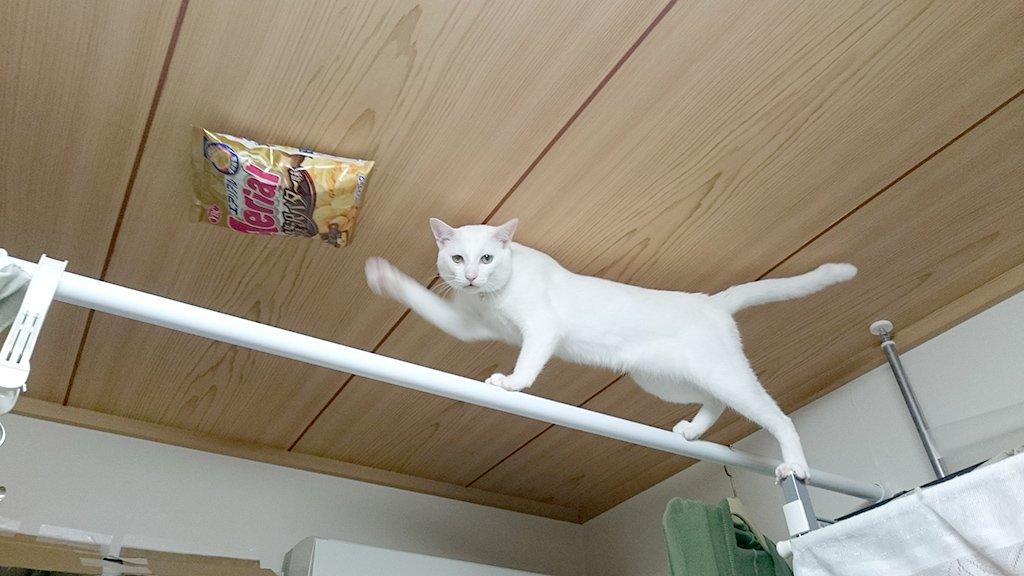 「天井に貼りつけたらどうなるのか」という質問をいただいていましたが、このように左足を離さなければ余裕なのです。と、猫が申しております