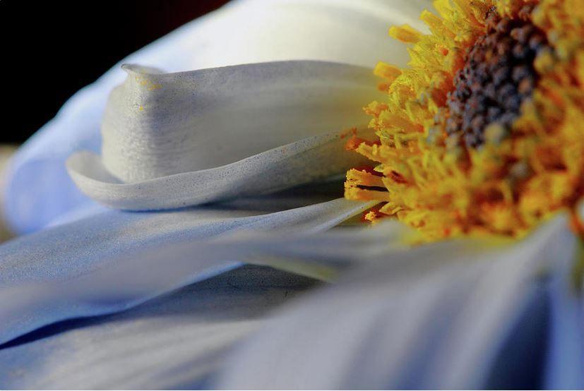 Delicate Daisy Petals - Print for Sale  http:// murdocksgallery.com/featured/delic ate-daisy-petals-angela-murdcok.html &nbsp; …  #daisies #gerberadaisy #flowers #flowerpetals #flowerprints #softblue<br>http://pic.twitter.com/qFmzuSe81V