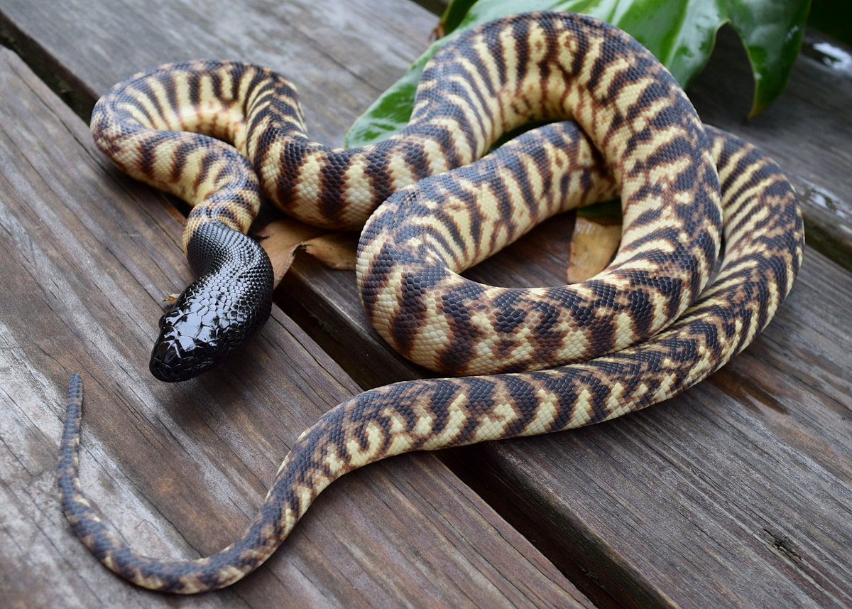 Xxx black headed python pictures sex stories