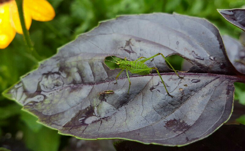 I think he found out that basil leaves taste delicious....  #grasshopper #insects #gardening #plants #500pxrtg<br>http://pic.twitter.com/VYUAXwWXLK