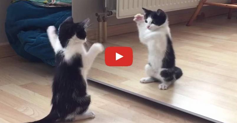 Wiske The Kitten vs The Mirror! CLICK to see this extremely cute kitten! [video] >