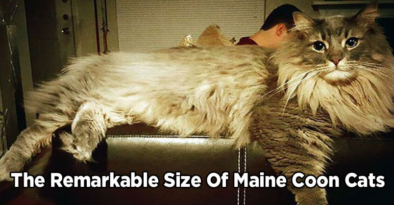 The Remarkable Size of Maine Coon Cats CLICK to see >