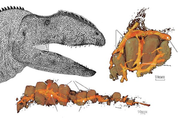 Our paper on the facial nerves &amp; behaviour of the large theropod Neovenator is out. Paper is #OA. #TetZoo coverage  https:// blogs.scientificamerican.com/tetrapod-zoolo gy/the-sensitive-face-of-a-big-predatory-dinosaur/ &nbsp; … <br>http://pic.twitter.com/g5MIu6CvdY