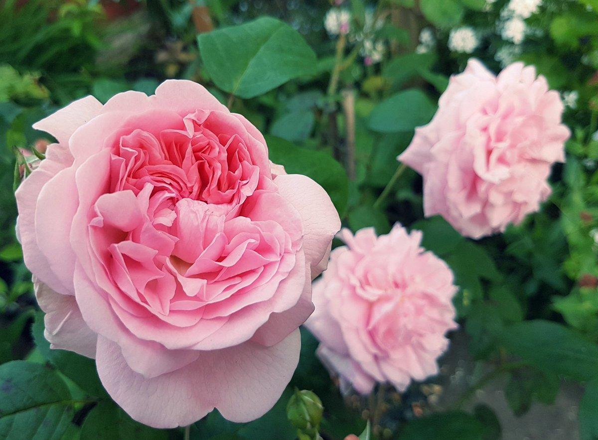 роза эглантин фото описание отзывы связи