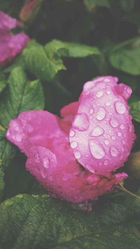A fragrance without roses is almost as unthinkable as a love affair without kisses... #ingredient #rose #perfumery  http:// bit.ly/2snXpGV  &nbsp;  <br>http://pic.twitter.com/11emIHUn9L