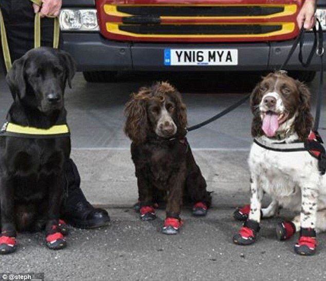 A picture of the lovely dogs who helped firemen in #GrenfellTower, wearing their heat-proof boots.