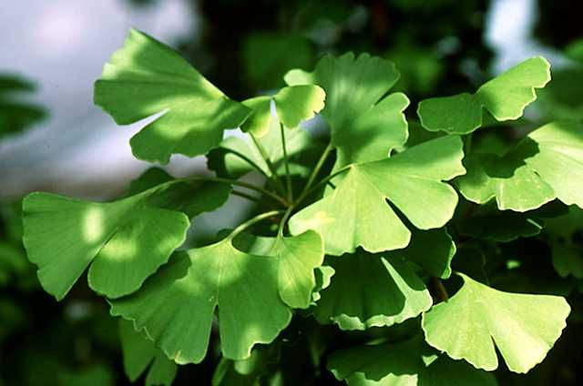 Introduction to the Ginkgoales: the ginkgos UCMP Berkeley #ginkgo #trees #biology #botany #gardening  http:// buff.ly/2rZg4Yp  &nbsp;  <br>http://pic.twitter.com/AtLH3NtIKd