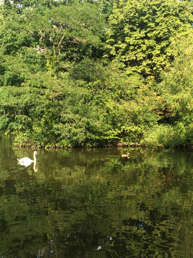 &#39;You can&#39;t catch me you grumpy thug swan&#39; as the gorgeous #gosling charges ahead! #Tooting lake.<br>http://pic.twitter.com/4TsnsYFrxu