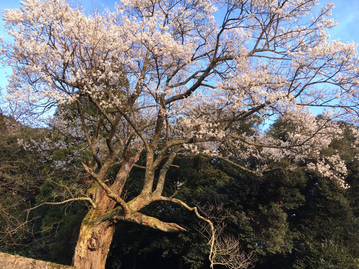 """test ツイッターメディア - <strong>鳥取</strong>県西伯郡伯耆町 久古(くご)神社の御殿桜 <strong>大山寺</strong>領内の総鎮守として創建された古社の桜。幹周3.3mと数値上は控えめだが、どっしりとした直幹にエドヒガンらしい小ぶりな花を無数に付けた重厚な姿。 <a rel=""""noopener"""" target=""""_blank"""" href=""""https://t.co/HZSJinRghy'"""" title=""""Twitter / ?"""" class=""""blogcard-wrap external-blogcard-wrap a-wrap cf""""><div class=""""blogcard external-blogcard eb-left cf""""><div class=""""blogcard-label external-blogcard-label""""><span class=""""fa""""></span></div><figure class=""""blogcard-thumbnail external-blogcard-thumbnail""""><img data-src=""""https://s0.wordpress.com/mshots/v1/https%3A%2F%2Ft.co%2FHZSJinRghy%27?w=160&h=90"""" alt="""""""" class=""""blogcard-thumb-image external-blogcard-thumb-image lozad lozad-img"""" loading=""""lazy"""" width=""""160"""" height=""""90""""/><noscript><img src=""""https://s0.wordpress.com/mshots/v1/https%3A%2F%2Ft.co%2FHZSJinRghy%27?w=160&h=90"""" alt="""""""" class=""""blogcard-thumb-image external-blogcard-thumb-image"""" width=""""160"""" height=""""90""""/></noscript></figure><div class=""""blogcard-content external-blogcard-content""""><div class=""""blogcard-title external-blogcard-title"""">Twitter / ?</div><div class=""""blogcard-snippet external-blogcard-snippet""""></div></div><div class=""""blogcard-footer external-blogcard-footer cf""""><div class=""""blogcard-site external-blogcard-site""""><div class=""""blogcard-favicon external-blogcard-favicon""""><img data-src=""""https://www.google.com/s2/favicons?domain=t.co"""" alt="""""""" class=""""blogcard-favicon-image external-blogcard-favicon-image lozad lozad-img"""" loading=""""lazy"""" width=""""16"""" height=""""16""""/><noscript><img src=""""https://www.google.com/s2/favicons?domain=t.co"""" alt="""""""" class=""""blogcard-favicon-image external-blogcard-favicon-image"""" width=""""16"""" height=""""16""""/></noscript></div><div class=""""blogcard-domain external-blogcard-domain"""">t.co</div></div></div></div></a> /></a></div></div></div></div></div></div></div><footer class=""""article-footer entry-footer""""><div class=""""entry-categories-tags ctdt-one-row""""><div class=""""entry-categories""""><a class=""""cat-link cat-link-41"""" href=""""https://www.kouyou-spot.com/category/chugoku/tottori/""""><span cla"""