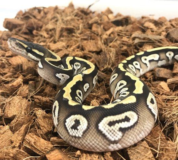 Cypress Mojave Male Ball Python by Medusa&#39;s Morphs, $2350 #snake #morph #reptiles #pet #pets #morphs #herp #herps  https://www. morphmarket.com/us/c/reptiles/ pythons/ball-pythons/73960?utm_source=twitter&amp;utm_medium=post&amp;utm_content=73960&amp;utm_campaign=twitter-featured-ad &nbsp; … <br>http://pic.twitter.com/WgwxwZCpz7