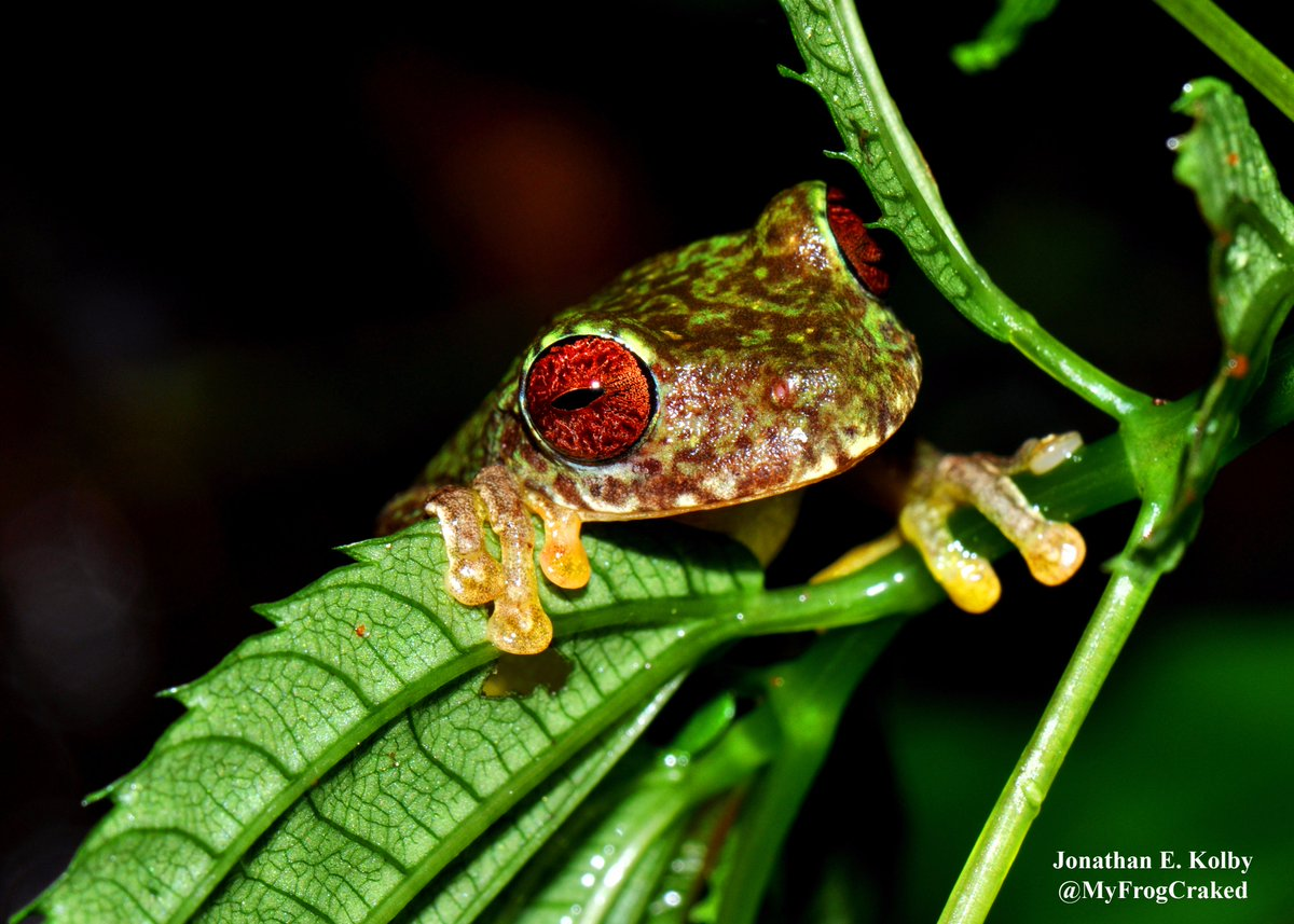 &quot;Oh, hey there! I just woke up....Did I miss the #CuteAnimalTweetoff?&quot; #HARCC #frog #Honduras<br>http://pic.twitter.com/jujR0oosYh