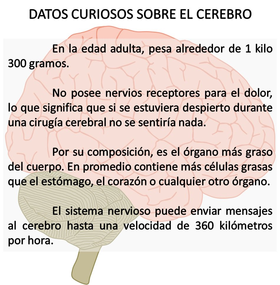 Datos Curiosos sobre el cerebro. https:/...
