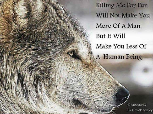 I haven&#39;t found rest But indifference #ProtectWolves #Wolves  #YellowstoneWolves #StandForWolves #Keepwolveslisted #Yellowstone #Wolfpack<br>http://pic.twitter.com/gETIGSTuAZ
