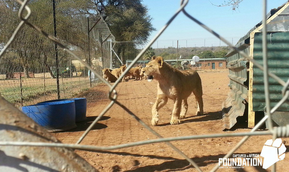 The breeding of lions is out of control. To stop #cannedhunting and other exploitation, we must ban #lion breeding @environmentza <br>http://pic.twitter.com/9OxTJEZ6HE