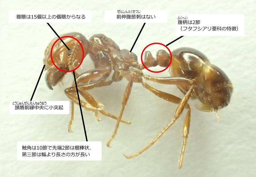 「ヒアリは噛まれるとその毒でアナフィラキシーショックを起こす」 と書くよりも 「ヒアリの分類はハチ目 スズメバチ上科 アリ科 これが何を意味するかは言わずともわかるだろう」 と書く方がいいんじゃないかとか思うw