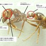 「ヒアリは噛まれるとその毒でアナフィラキシーショックを起こす」と書くよりも「ヒアリの分類はハチ目 ス…