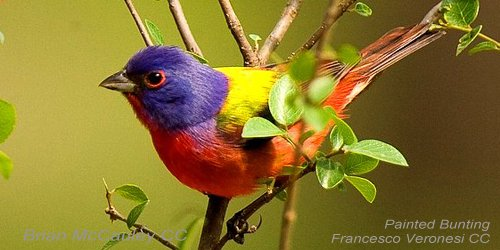 What colors! #PaintedBunting #ornithology  http:// bit.ly/JLmNJU  &nbsp;  <br>http://pic.twitter.com/5pEED2YUjX