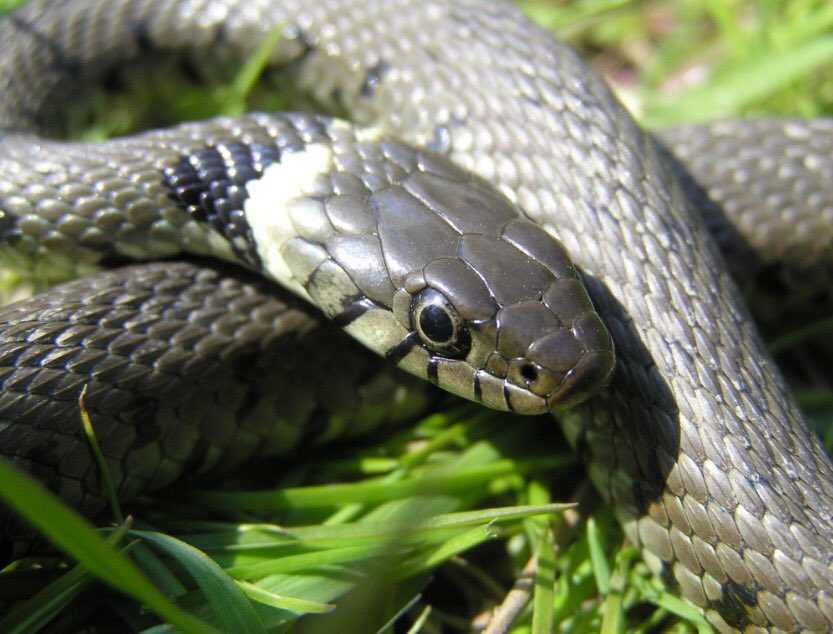 Our paper on a new discovery in European wild #snakes is out!  https://www. nature.com/articles/s4159 8-017-03352-1 &nbsp; … <br>http://pic.twitter.com/vdoOcxSIxe