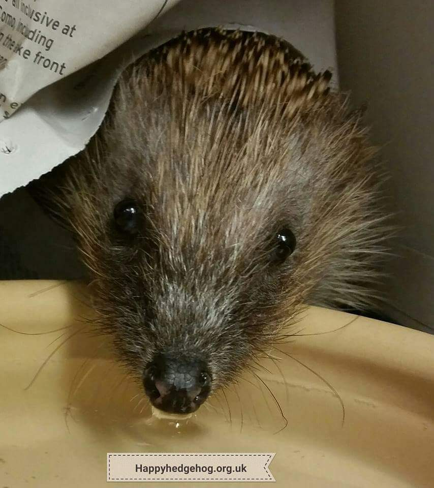 HOT, HOT , HOT!!! PLEASE put lots of bowls of water out for our struggling get hedgehogs! Pls RT @hedgehogs #wildlife @eagleradio @Dr_Dan_1<br>http://pic.twitter.com/A0drddsYSR