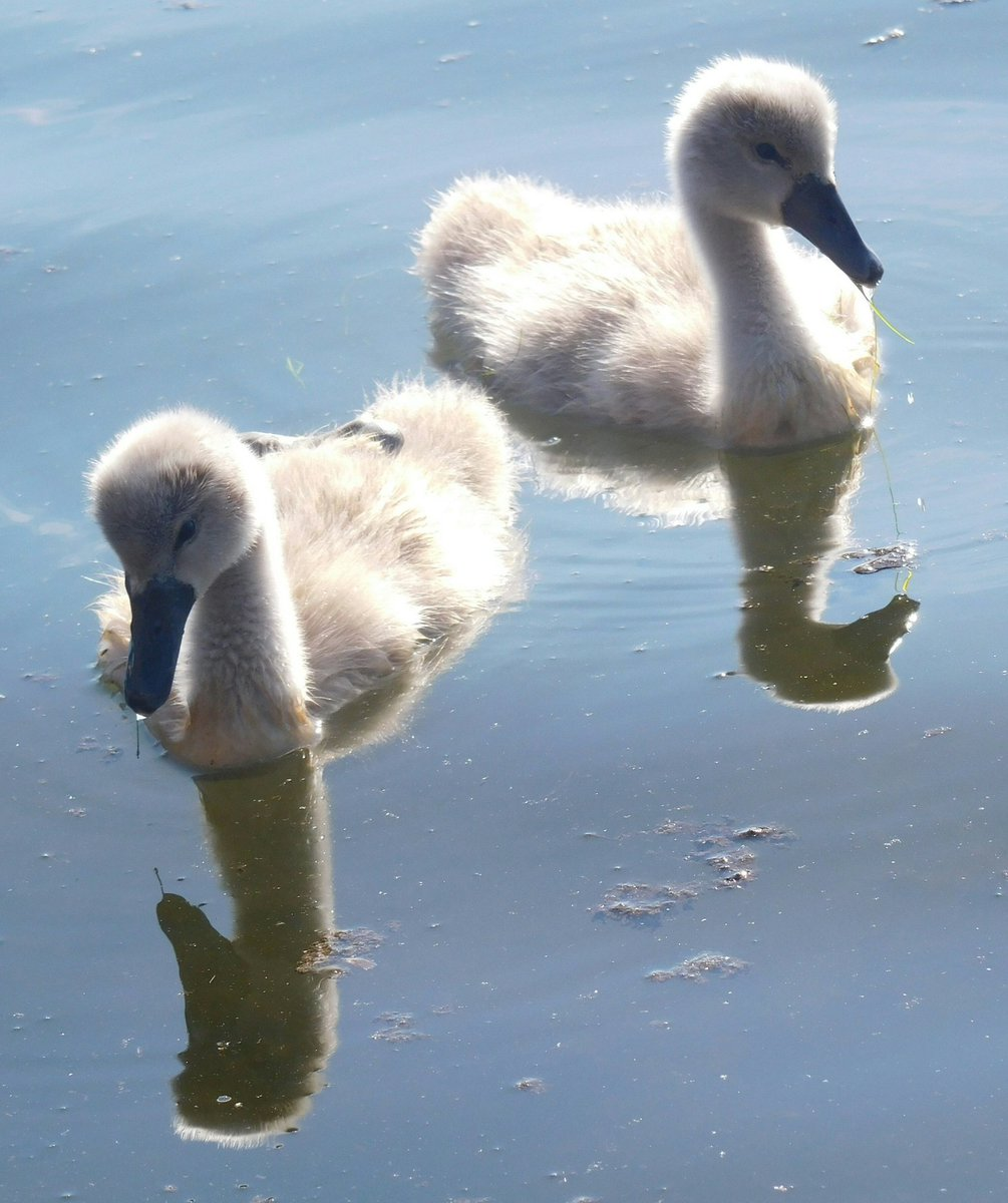 Perfect time of year to visit Poole Park. Wildlife &amp; new life #cygnet #gosling #dorsethour #30DaysWild @more_poole @PooleParkLife @PoolePost<br>http://pic.twitter.com/nc1IO1HQwK