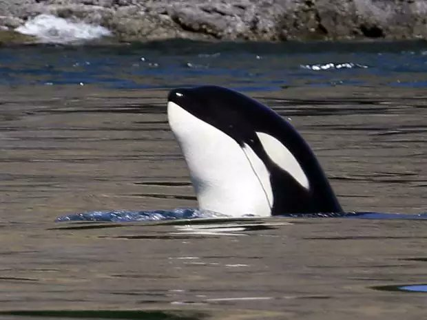 Gangs of aggressive killer whales are shaking down Alaska fishing boats for their fish: report https://t.co/cB7okRdUot