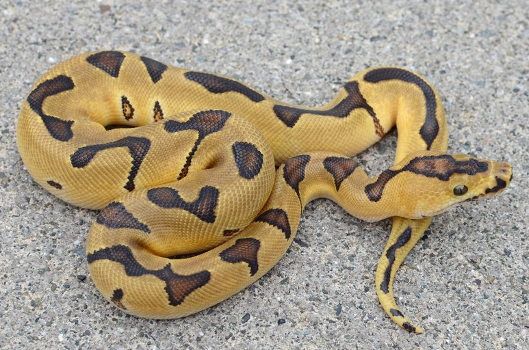 Male Super Enchi Clown Male Ball Python by Casey Lazik Reptiles, $4000 #ballpython #herp #pets #reptile #reptiles  https://www. morphmarket.com/us/c/reptiles/ pythons/ball-pythons/74146?utm_source=twitter&amp;utm_medium=post&amp;utm_content=74146&amp;utm_campaign=twitter-featured-ad &nbsp; … <br>http://pic.twitter.com/sK0Yi6JUfr