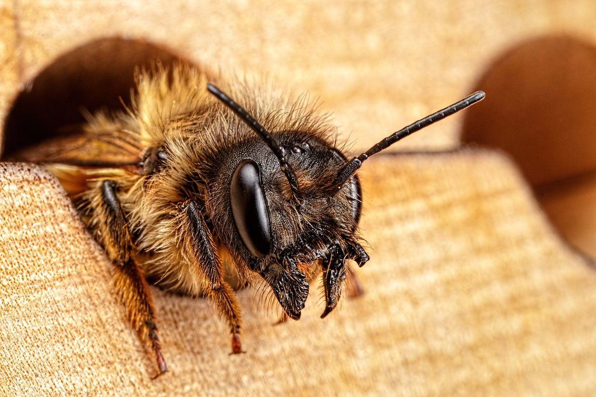 Our new paper on larval #neonicotinoid exposure in mason #bees is now published!  https:// peerj.com/articles/3417/  &nbsp;   #solitarybees #ecology <br>http://pic.twitter.com/TIAL91QTWa