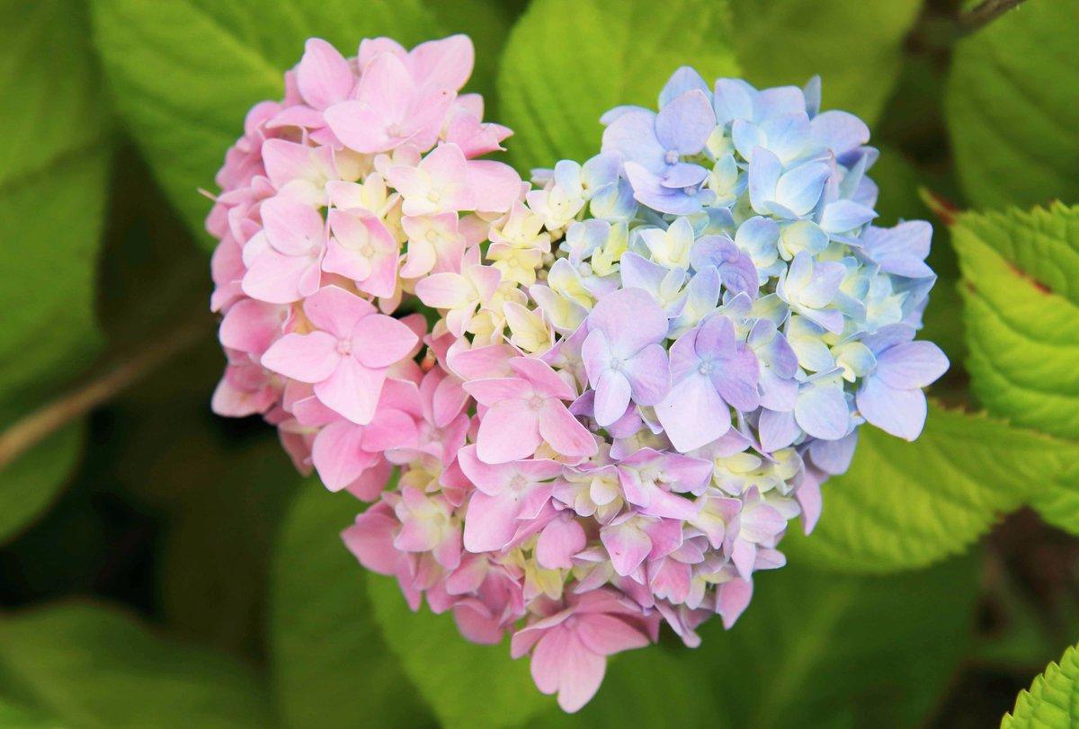 駐車場の片隅で見つけた紫陽花。色といい、形といい、神さまからの愛のメッセージかもしれません(^o^)