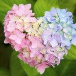 駐車場の片隅で見つけた紫陽花。色といい、形といい、神さまからの愛のメッセージかもしれません(^o^)…