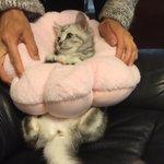 3ヶ月ぐらいの時のお猫  ドーナツクッションはめられる→ふんぬー!