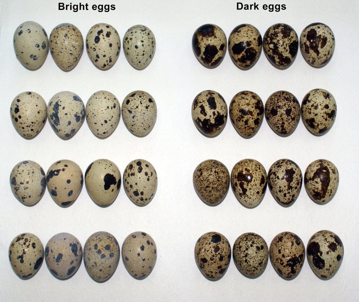 From last wk: Deposition of calcium &amp; metals differs btwn speckled &amp; plain eggshell regions  http://www. bioone.org/doi/full/10.16 42/AUK-17-7.1 &nbsp; …  #OA #ornithology<br>http://pic.twitter.com/V8ONxVlW3P