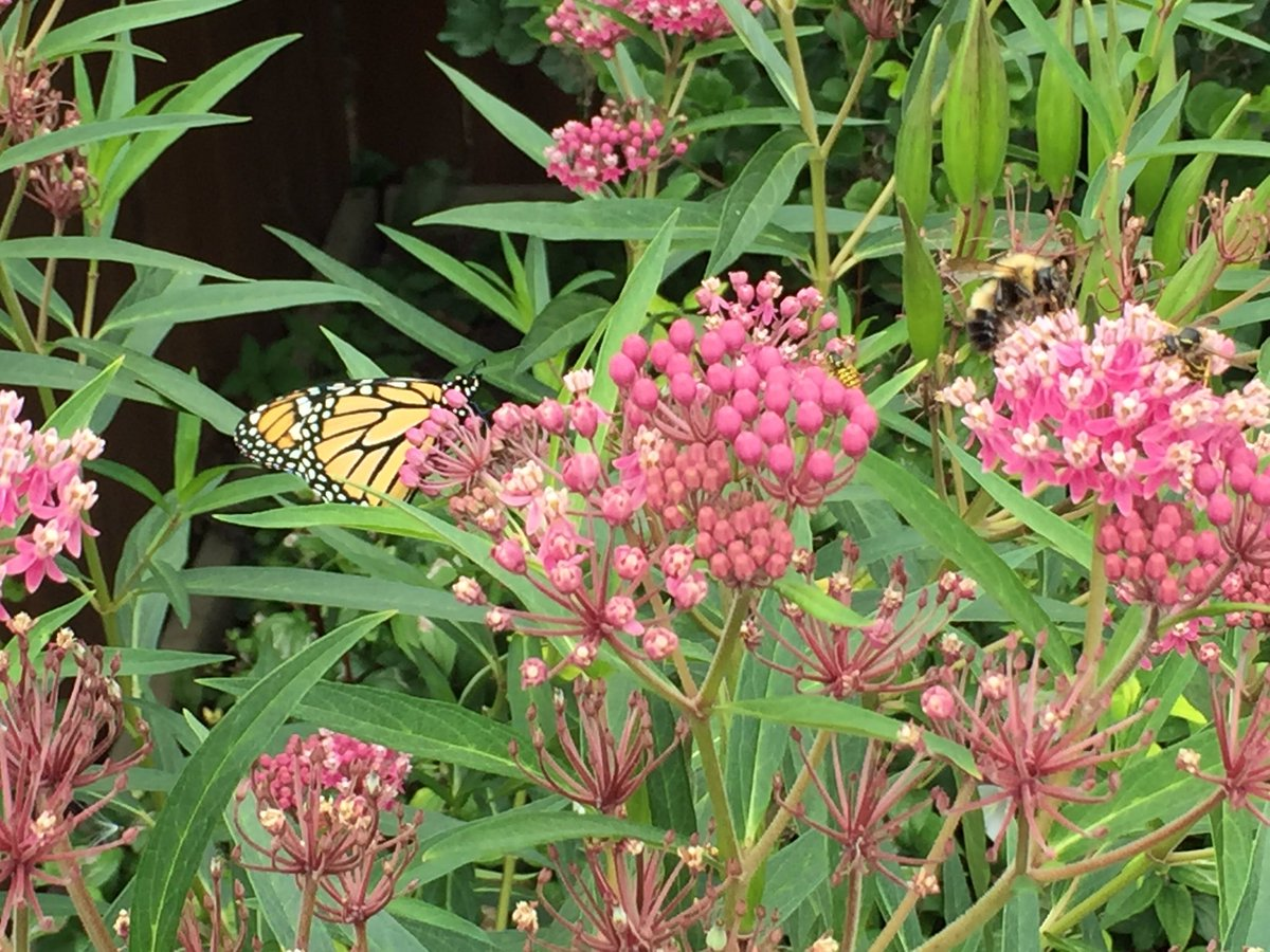 It&#39;s day 2 of #PollinatorWeek! Have you planted any new #nectar or #host #plants? #Milkweed is great, and so is #rue &amp; #PearlyEverlasting <br>http://pic.twitter.com/jrmvjUOqMj