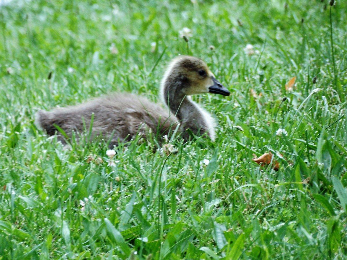 Baby portrait. Family Life #gosling #animals  https:// offtheleash.net/2017/06/17/fam ily-life/ &nbsp; … <br>http://pic.twitter.com/hujK9TlZy2