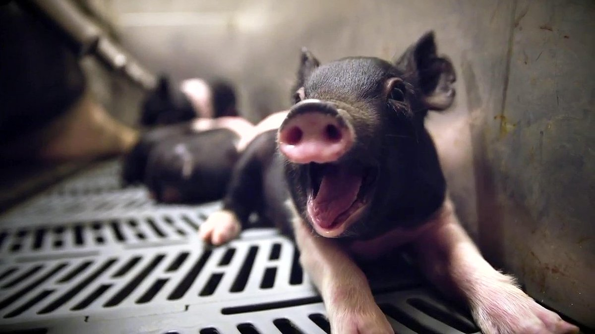 This little piggy has personality: Is one sow better than another in g...