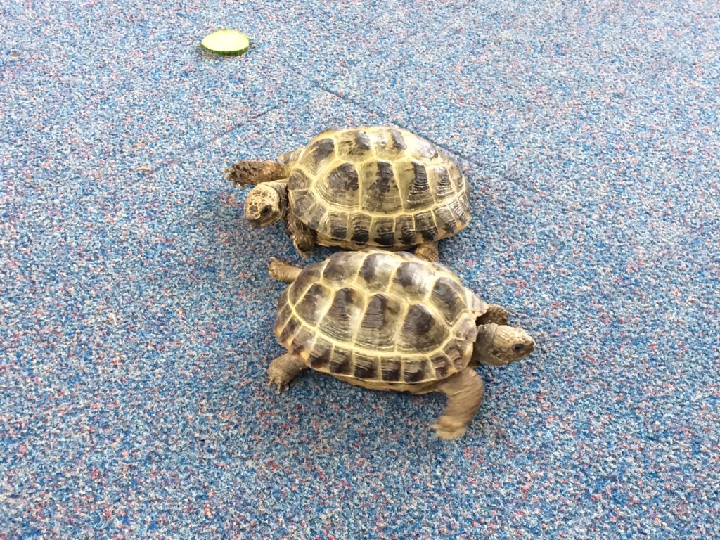 We love animals in Year 1, today we had Rocky and Ben the tortoises #science #animals #year1 #ellesmereprimaryschool