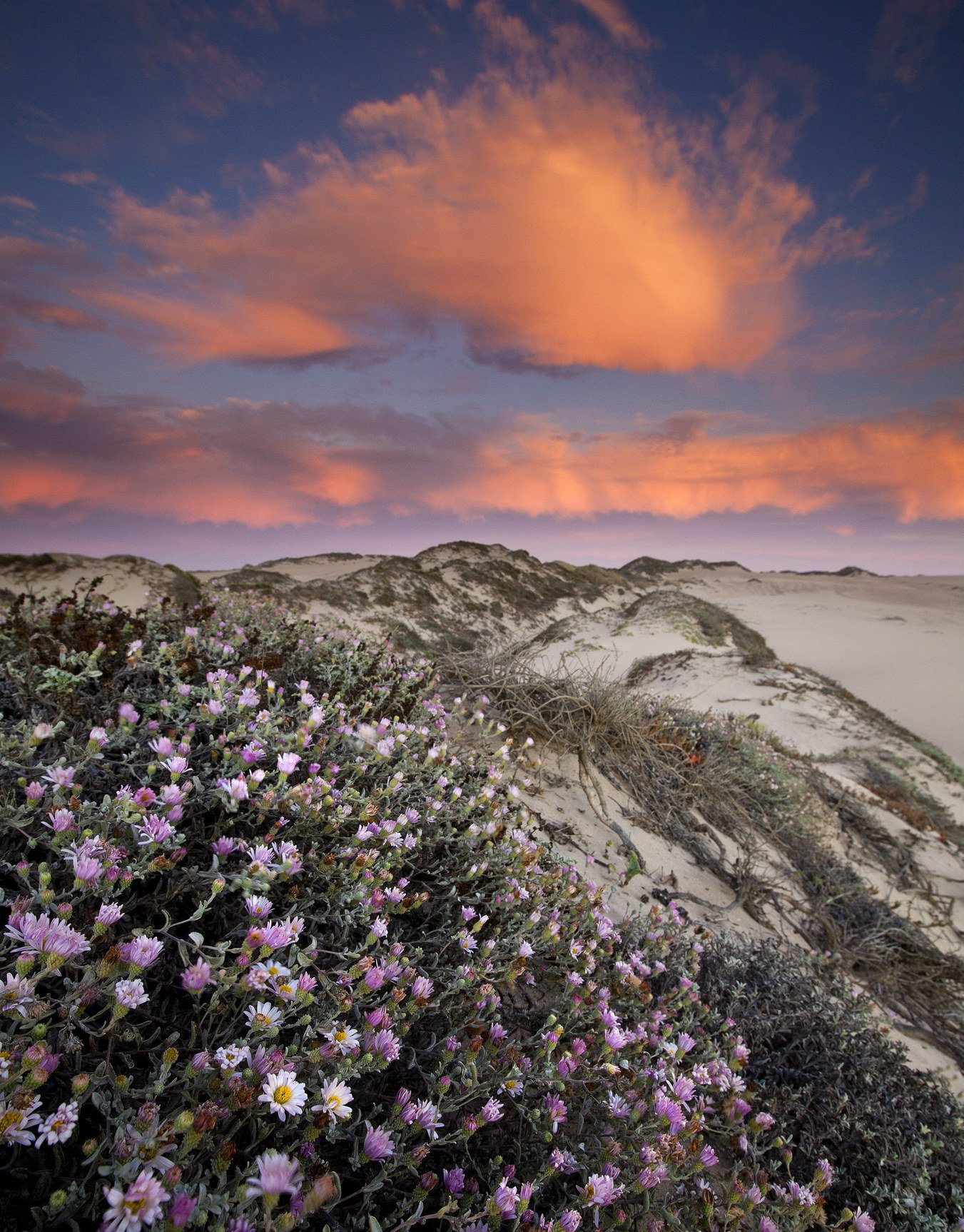 Wildflowers scattered across the sands at Guadalupe-Nipomo Dunes #WildlifeRefuge #California https://t.co/CxG055449o