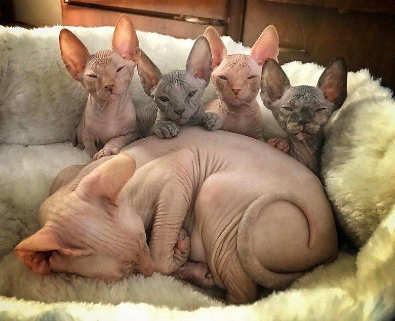 Днем, картинки с приколом кошки сфинкс