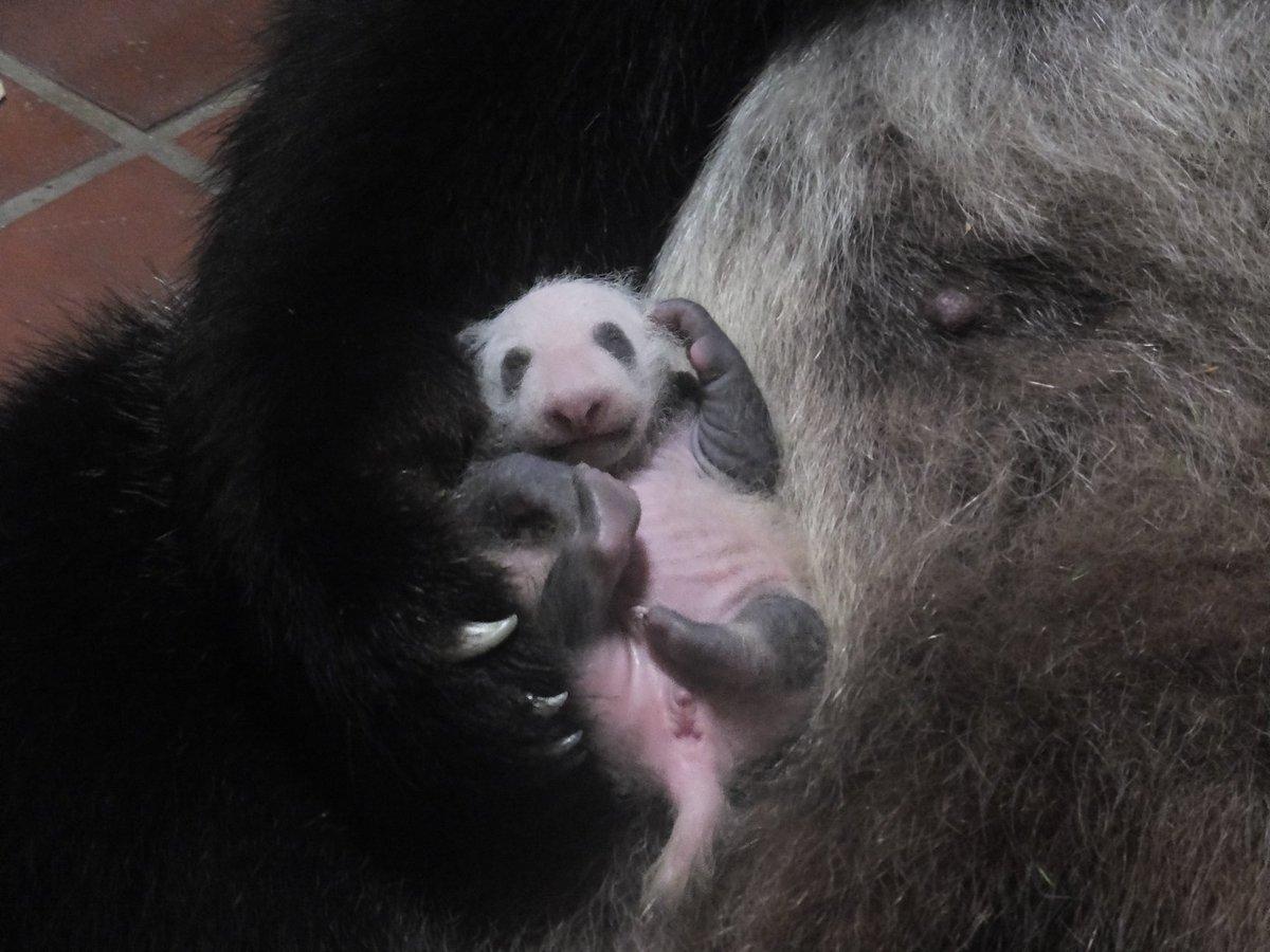 ジャイアントパンダの赤ちゃん(7月1日撮影) 健康状態は良好です。白と黒のいわゆる「パンダカラー」がより一層はっきりしてきました。 pic.twitter.com/I6xqNoguPV