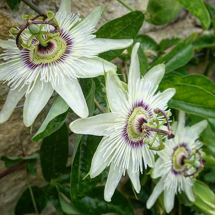 Marvelling at mother nature&#39;s sophisticated art! #passionfruitflowers #mygardeninBath #floralwonder #Fridayflowers #summerflowers <br>http://pic.twitter.com/vfg4j0oECv