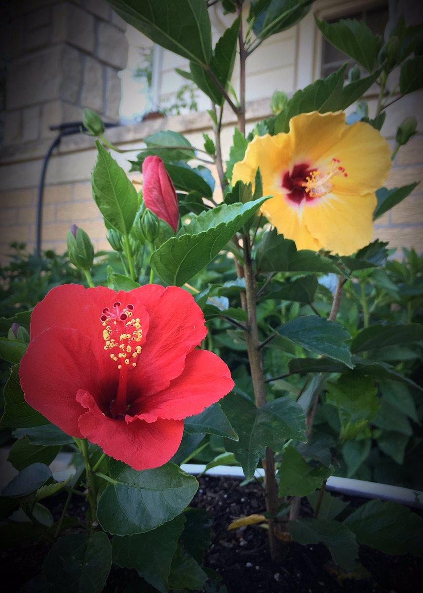 Horterotica on twitter hibiscus rosa sinensis aka chinese horterotica on twitter hibiscus rosa sinensis aka chinese hibiscus has many medicinal uses also considered an aphrodisiac izmirmasajfo