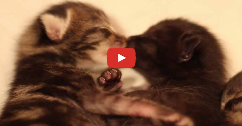 Tiny Foster Kittens Kissing...awwww! CLICK to watch >