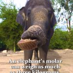 Happy #EleFunFactFriday! An #elephant's molar can weigh as much as 3 kilograms! #EleFact #EleFunFact #FunFactFriday #ElephantFriday