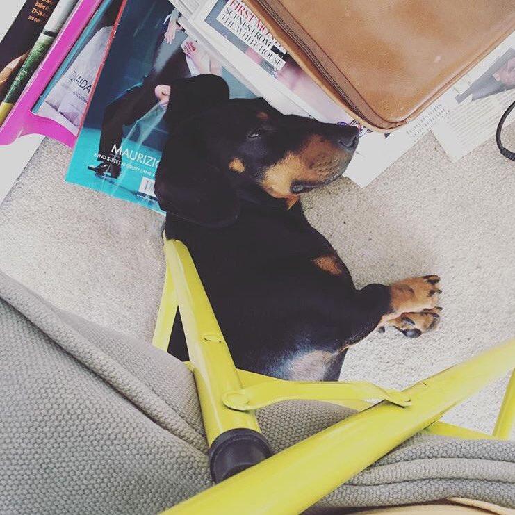 #BringYourDogToWorkDay always @SimonHarperPR #Fred #dachshund<br>http://pic.twitter.com/HHNNNSqgZT