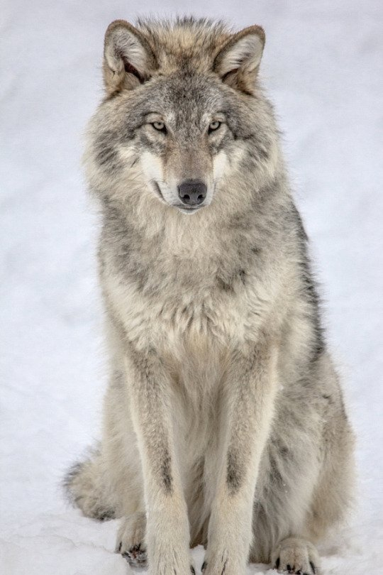Come, close your eyes On our first nights #ProtectWolves #YellowstoneWolves #StandForWolves  #Keepwolveslisted #Wolves  #Keepwolveslisted<br>http://pic.twitter.com/WR84XuM7Ib