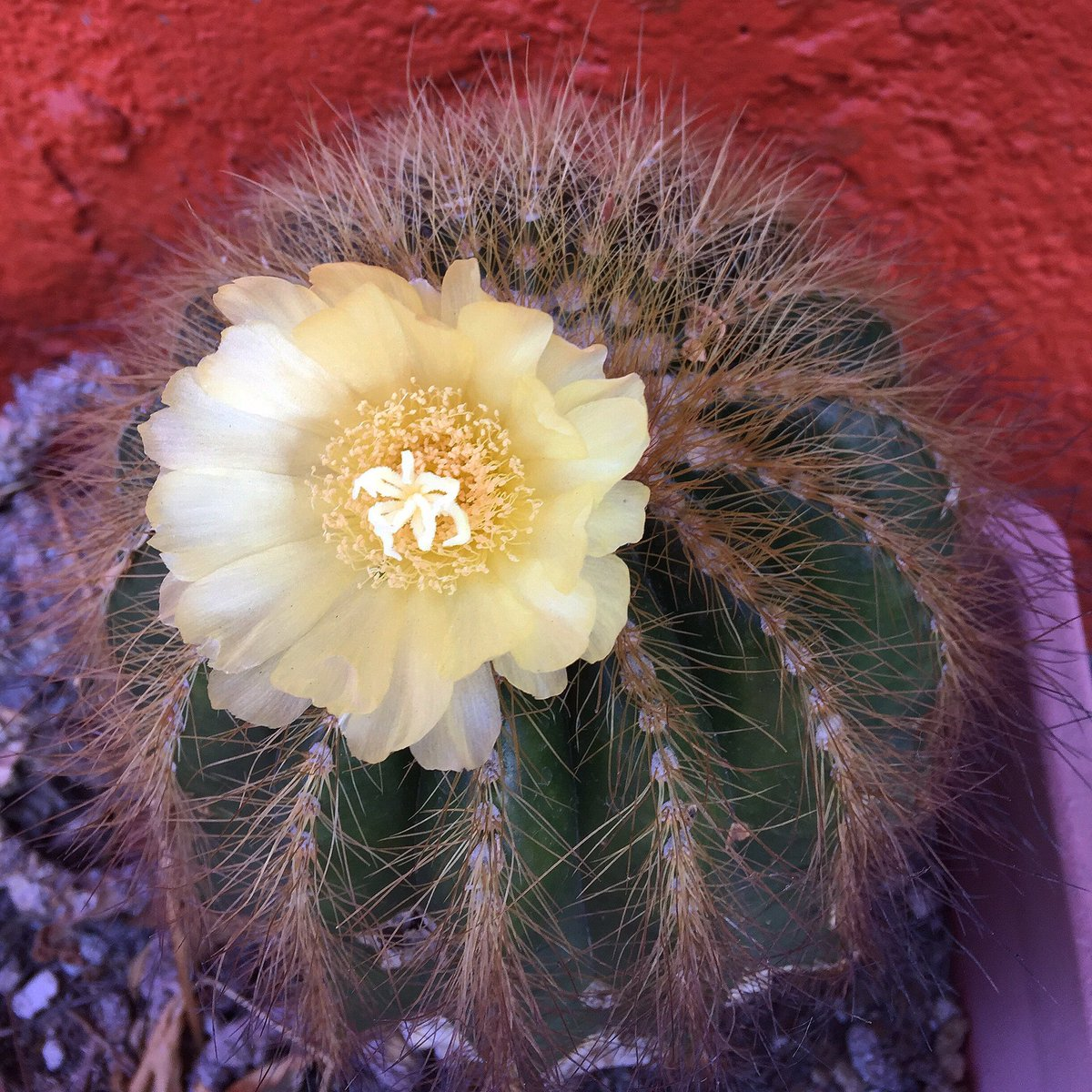 My chunky little  has a happy little flower  #cactus #cactuslover #flowers #sopretty #happyfriday #tgif #happiness #joy #happyday <br>http://pic.twitter.com/w44zZGHECi