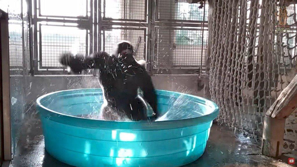 Dancing Gorilla Shows Off 'Splashdance' Routine in Dallas Zoo's Video https://t.co/SYJxezubVC