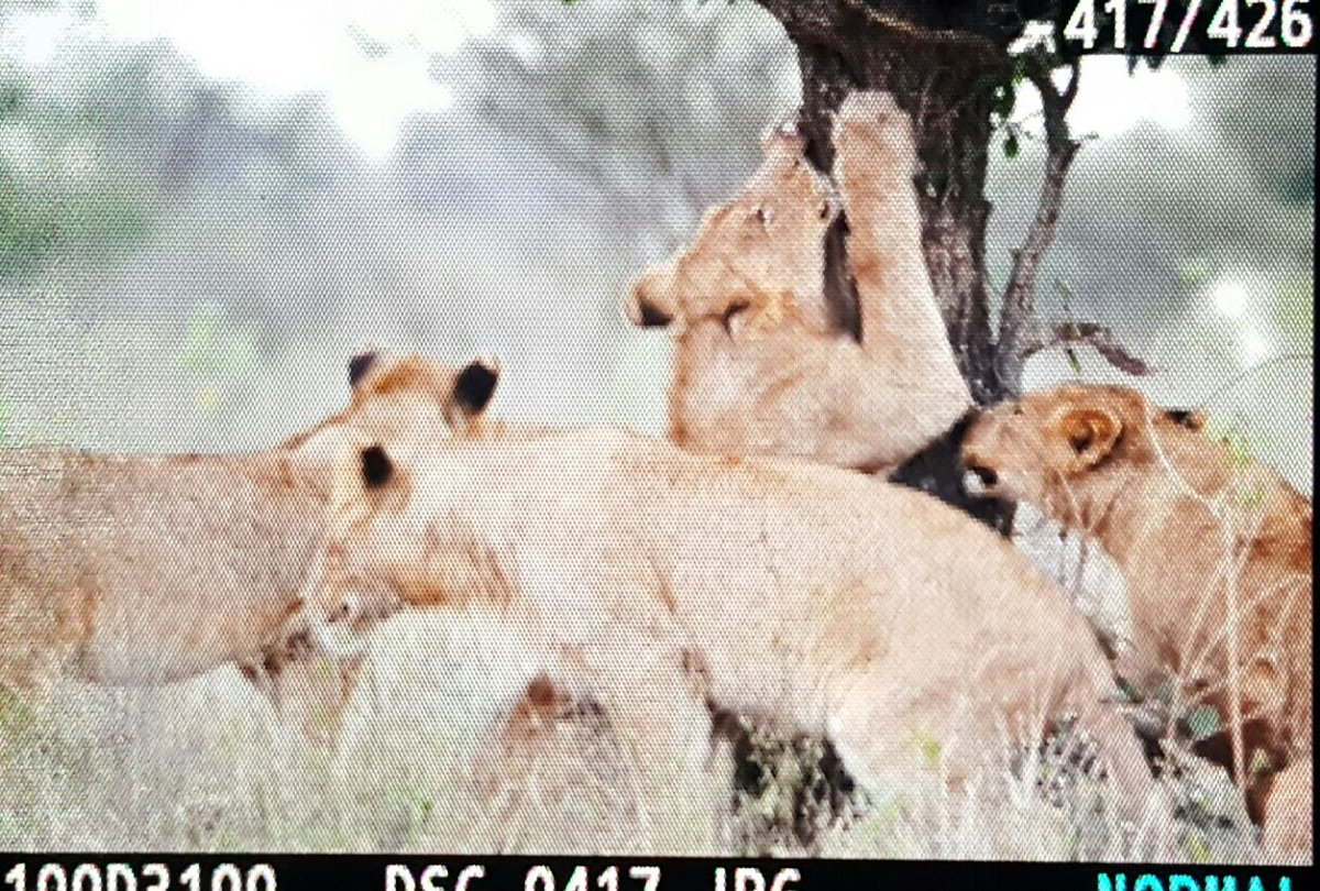 It&#39;s It&#39;s #wild start to the #weekend here in #crocodilebridge  Awesome #lion and #hyena sightings  @afrivenues @adstube @mphappenings<br>http://pic.twitter.com/qpGNjUP8ZI