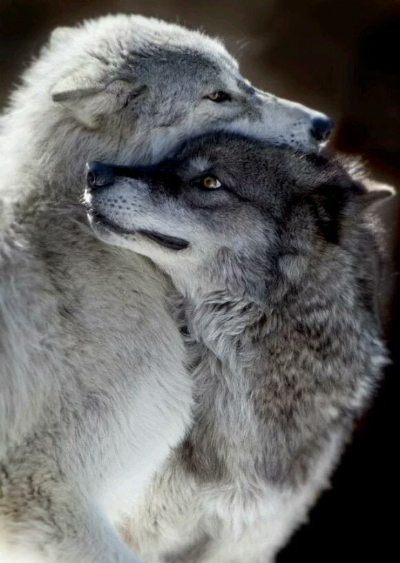 Do you love me Love me do Me do love you Me too! #ProtectWolves #Wolves  #YellowstoneWolves #StandForWolves  #Keepwolveslisted #ESA #Wolfie<br>http://pic.twitter.com/GadL965pJB
