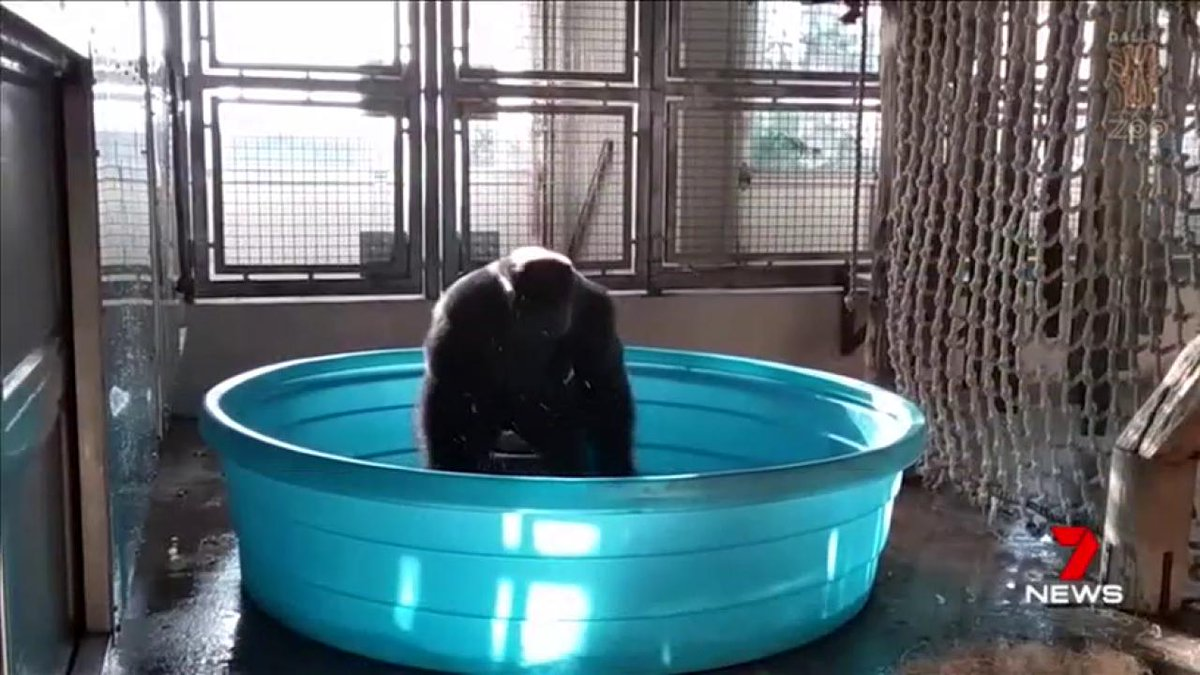 A gorilla at a zoo in Dallas has been filmed break-dancing in a mini swimming pool. #7News